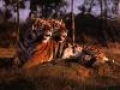 animale-salbatice/Tigers_Avatars_6.jpg