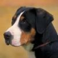 caini/Avatar_Greater_Swiss_Mountain_Dog.jpg