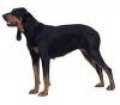 caini/Avatare_Black_and_Tan_Coonhound.jpg