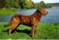 caini/Avatare_Chesapeake_Bay_Retriever.jpg
