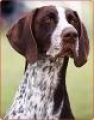 caini/Avatare_German_Shorthaired_Pointer.jpg