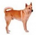 caini/Avatars_Canaan_Dog.jpg