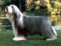 caini/Bearded_Collie_Avatar.jpg