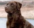 caini/Chesapeake_Bay_Retriever_Avatar.jpg
