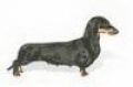 caini/Dachshund_puppies_Avatars.jpg