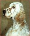 caini/English_Setter_Avatars.jpg