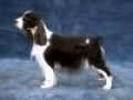 caini/English_Springer_Spaniel__Avatar.jpg