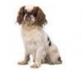 caini/English_Toy_Spaniel_Avatar.jpg