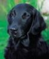 caini/Flat-Coated_Retriever_Avatar.jpg