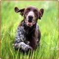 caini/German_Shorthaired_Pointer_Avatar.jpg