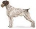 caini/German_Wirehaired_Pointer_Avatar.jpg