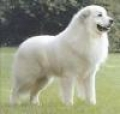 caini/Great_Pyrenees_Avatar.jpg
