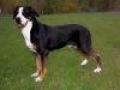 caini/Greater_Swiss_Mountain_Dog_Avatar.jpg